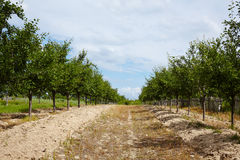 Plum trees orchard Stock Photos
