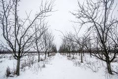 Plum trees. In winter scenery Stock Images