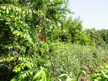 plum trees with ripe fruits and tomato bushes