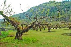 Plum trees Stock Image