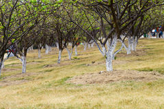 Plum trees Royalty Free Stock Image