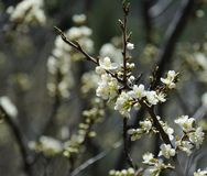 Plum twig with white blossoms in spring. Close-up of the tip of a twig with many plum blossoms. Some more branches with blossoms are defocused in the background Stock Photo