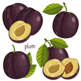 Plum , Vector. Plum , Plum Vector. Composition of Plum on white background. Plum icon, fruit set. Juicy Plum, Plum Leaves. Fruit Composition for Packaging Juice royalty free illustration