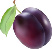 Plum. Vector illustration of the plum Stock Photo