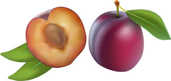 Plum, vector. Isolated plum fruits on the white background, vector Stock Photo