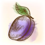 Plum, watercolor painting Stock Image
