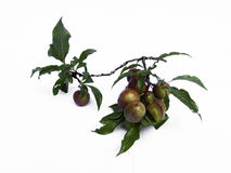 Plum. On a white background Royalty Free Stock Image