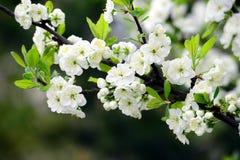 Plum white blossom and blue sky Stock Photography