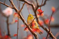 Plum and white-eye Royalty Free Stock Photography
