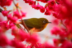 Plum and white-eye Stock Photography