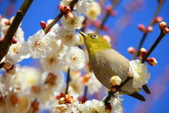 Plum and white-eye. It is a plum and Japanese White-eye of Beppu park royalty free stock photo