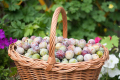 Plum in a wicker basket in the garden Royalty Free Stock Photos
