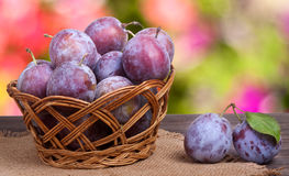 Plum in a wicker basket on the wooden table with sackcloth and blurred green background Stock Photography