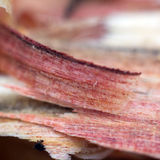 Plum wood shavings Stock Photos