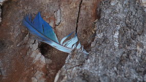 Pluma azul pegada en madera Fotografía de archivo libre de regalías