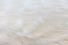 Pluma blanca Foto de archivo