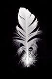 Pluma blanca del cisne aislada Fotos de archivo libres de regalías