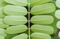 Pluma-como las hojas Fotos de archivo libres de regalías