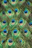 Pluma de cola del pavo real Imagen de archivo libre de regalías