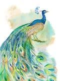 Pluma de la acuarela del pavo real ilustración del vector