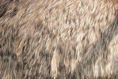 Pluma de la avestruz Imagen de archivo libre de regalías