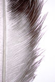 Pluma de la avestruz Imágenes de archivo libres de regalías