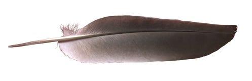 Pluma de la paloma Imágenes de archivo libres de regalías