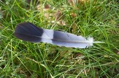 Pluma de la paloma en naturaleza Foto de archivo libre de regalías