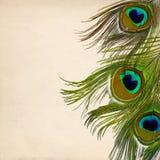 Pluma de los pavos reales Foto de archivo libre de regalías