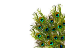 Pluma de los pavos reales Imagen de archivo