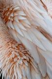 Pluma de los pelícanos Imagen de archivo libre de regalías