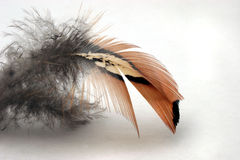 Pluma de Pheasent foto de archivo libre de regalías