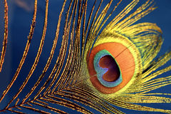 Pluma de Picok en BluePurpule Fotografía de archivo libre de regalías