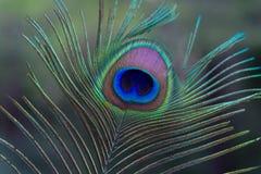 Pluma de un pavo real Fotografía de archivo libre de regalías