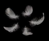 Pluma del cisne Imágenes de archivo libres de regalías