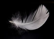 Pluma del cisne Imagen de archivo libre de regalías
