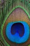 Pluma del pavo real. Fotos de archivo