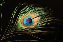 Pluma del pavo real Fotografía de archivo libre de regalías