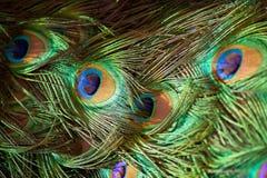 Pluma del pavo real Fotografía de archivo