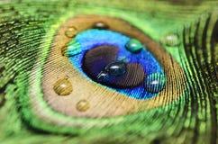 Pluma del pavo real Imagenes de archivo