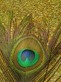 Pluma del pavo real fotos de archivo libres de regalías