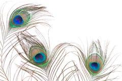 Pluma del pavo real aislada en el fondo blanco Fotos de archivo libres de regalías