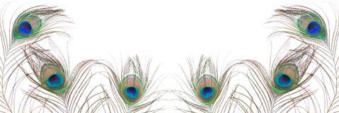 Pluma del pavo real aislada en el fondo blanco Foto de archivo