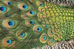 Pluma del pavo real con los ojos azules hermosos como textura imagen de archivo