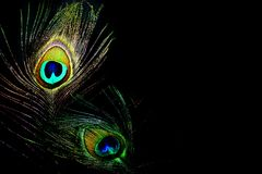 Pluma del pavo real de las reinas del baile fotografía de archivo