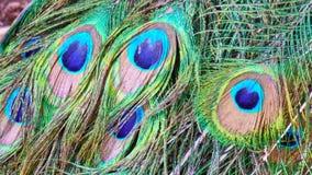Pluma del pavo real Eilat Israel foto de archivo libre de regalías