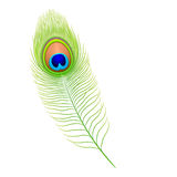 Pluma del pavo real. Vector. libre illustration