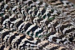 Pluma del Peafowl verde Fotografía de archivo