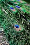 Pluma del Peafowl verde Fotos de archivo