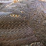 Pluma del Peafowl verde Fotografía de archivo libre de regalías
